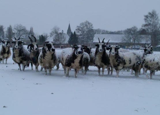 Jacobschapen in de sneeuw