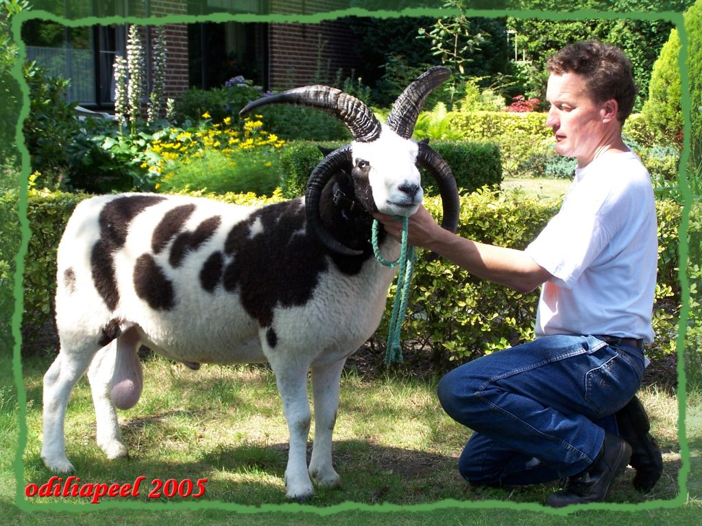 Jacob Schaap Engelse import op schapendag Odiliapeel